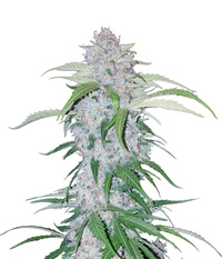 FastBuds Six Shooter Auto