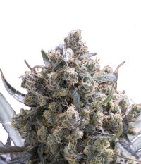 Humboldt Seeds Organization Fast Flowering Green Crack