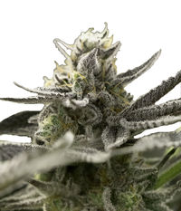 Humboldt Seeds Organization Fast Flowering OGKZ