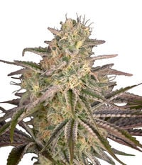 Green House Seeds Cloud Walker
