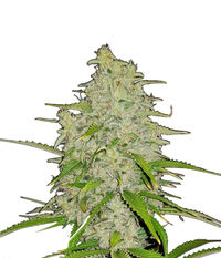 Royal Queen Seeds HulkBerry
